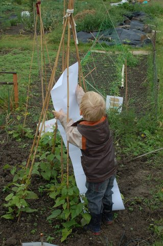 Measuring beans at our allotment